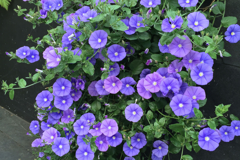 Flowers for a dry california terra ferma landscapes flowers for a dry california izmirmasajfo