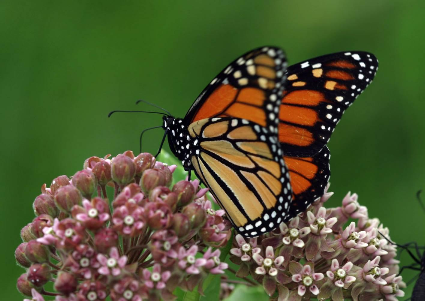 monarch butterfly and milkweed relationship help